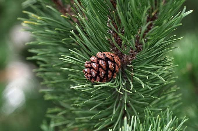 Manfaat Daun Pinus Untuk Kesehatan Yang Luar Biasa