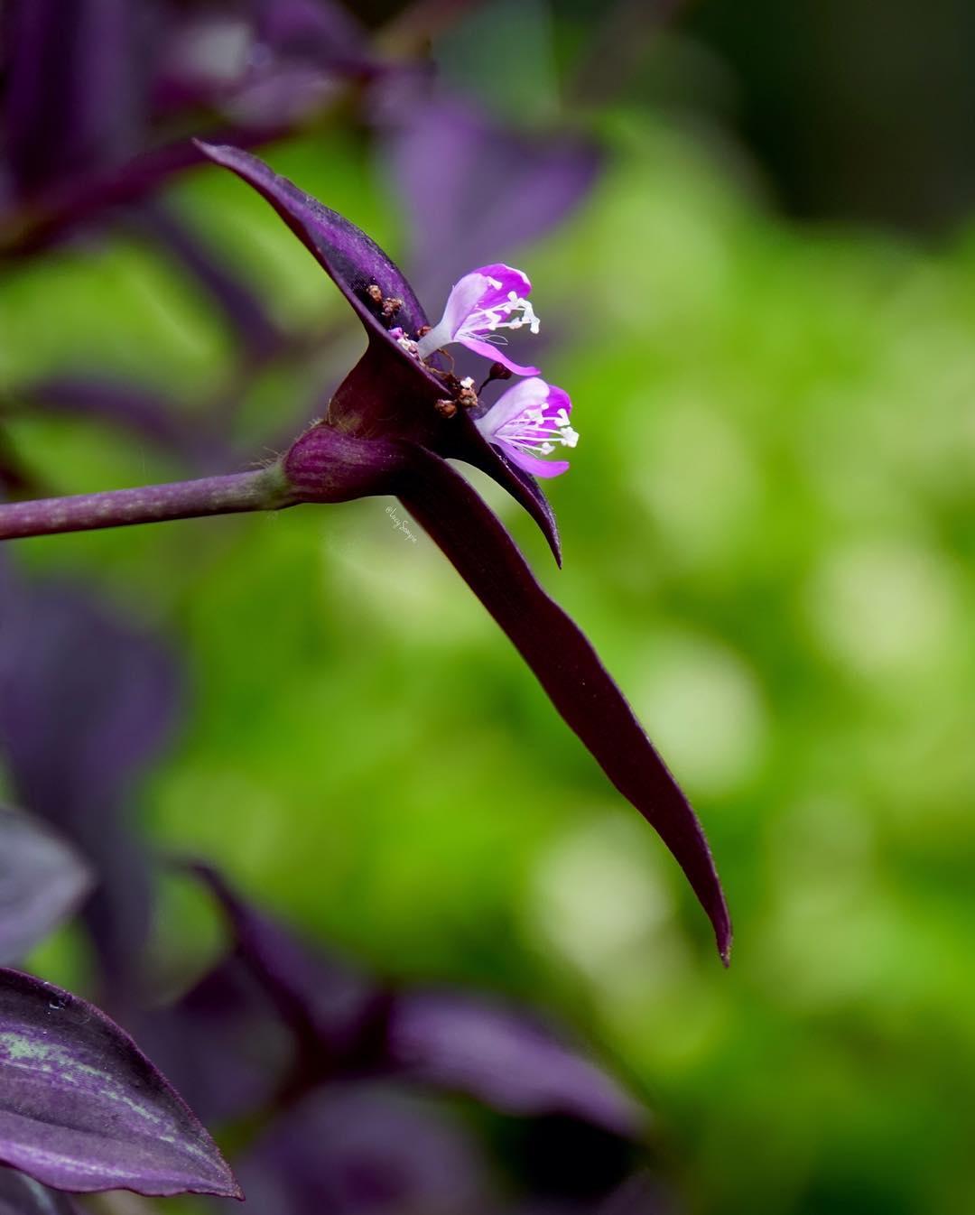 Manfaat Rebusan Daun Ungu Sebagai Solusi Herbal